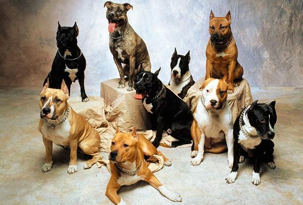 Опасные бойцовские породы собак