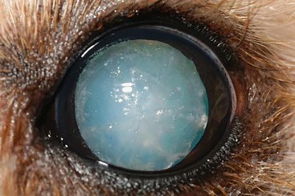 Прогрессирующая атрофия сетчатки у собаки