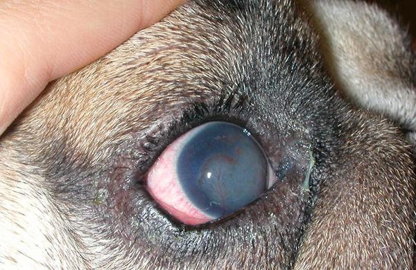 Кератит (заболевание роговицы глаза) у собаки