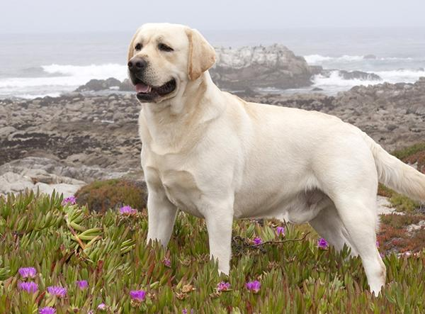 Дружелюбная собака Лабрадор-ретривер