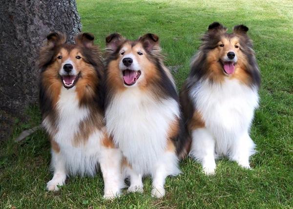 Длинношерстная собака породы Шелти