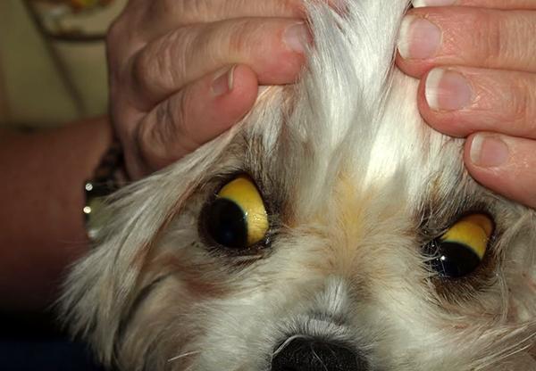 Пожелтевшие белки глаз собаки сигнализируют о наличии серьезных проблем