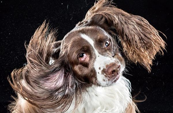 Если уши пса загрязнены, он будет часто трясти головой