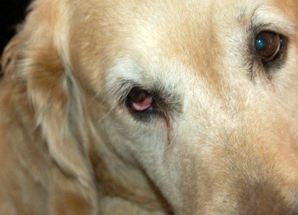 Западение глазного яблока у собак