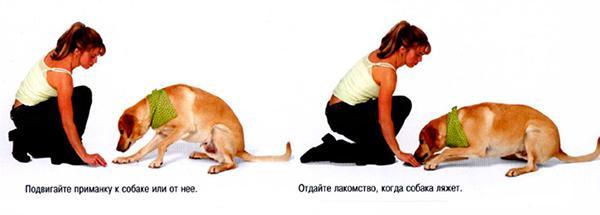 Двигайте лакомство по полу, пока собака не ляжет