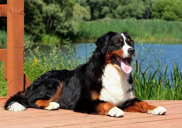 Собака-пастух Бернский зенненхунд