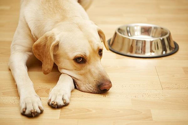 Если собака часто дышит, скулит, отказывается от еды, обратитесь к специалисту