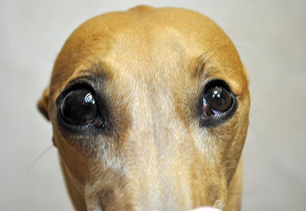 Экзофтальм или выпячивание у собаки