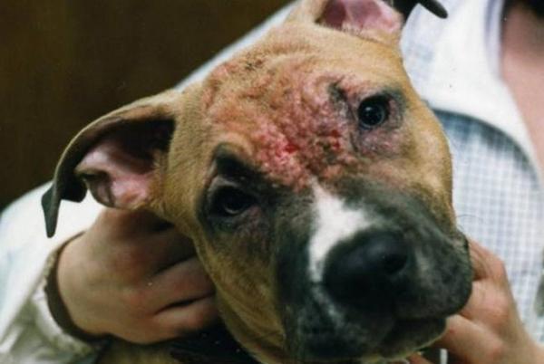 Нотоэдроз на морде у собаки