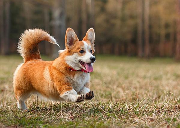 Дружелюбная собака породы Вельш-корги