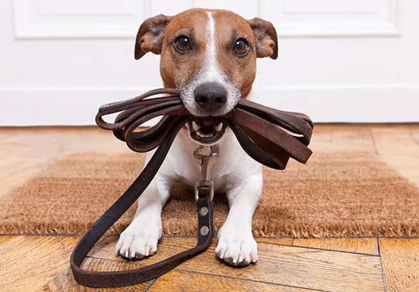 Собака вырастет послушной только при регулярных тренировках