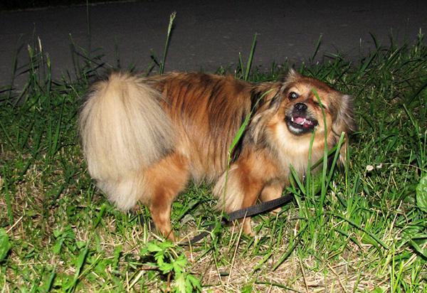 Вначале собака может выказвать недоверие или проявлять арессию