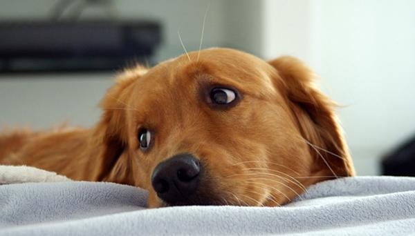 Наличие гельминтов может привести к истощению пса