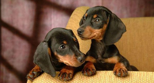 На цену щенка влияет родословная