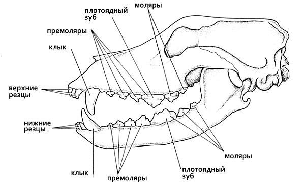 У взрослых собак должно быть 42 зуба