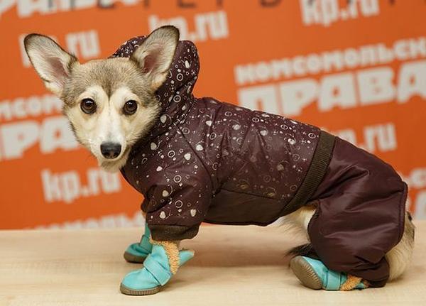 Некоторые породы собак нуждаются в одежде зимой