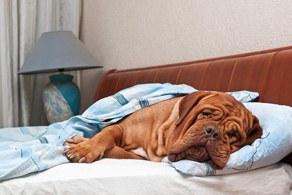 Нельзя позволять собаке спать на хозяйской мебели