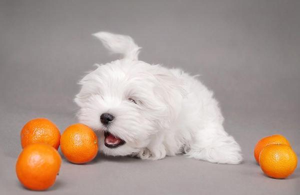 Собак-аллергиков нужно беречь от цитрусовых, арахиса, меда