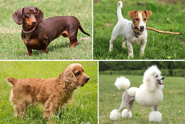 Породы собак, которые более подвержены малассезии