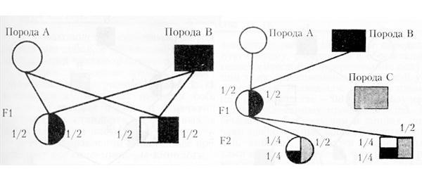 Схемы прстого и сложного промышленного скрещивания