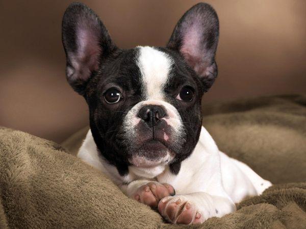 Порода собаки Французский бульдог
