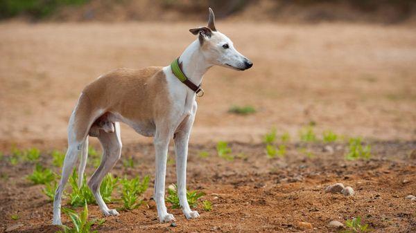 Уиппет - очень милые и нежные собаки