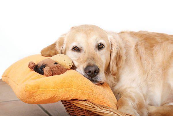 Беременность собаки – деликатный период