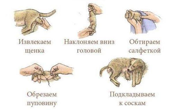Что делать во время родов собаки