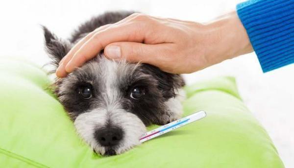 Перед родами у собаки падает температура