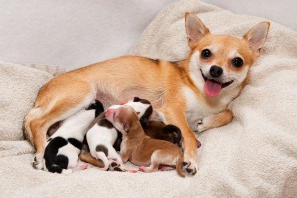 В первые дни после родом у собаки может быть плохой аппетит