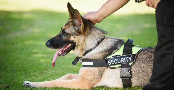 Тренировать пса лучше под контролем профессионала
