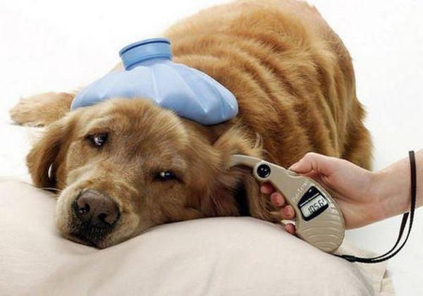 Апоплексический удар у пса