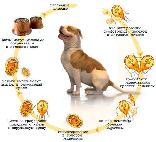 Лямблиоз у домашних животных