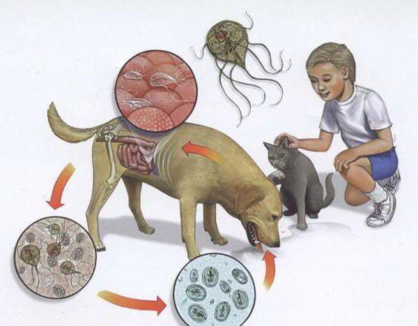 Как лямблия попадает в организм животного