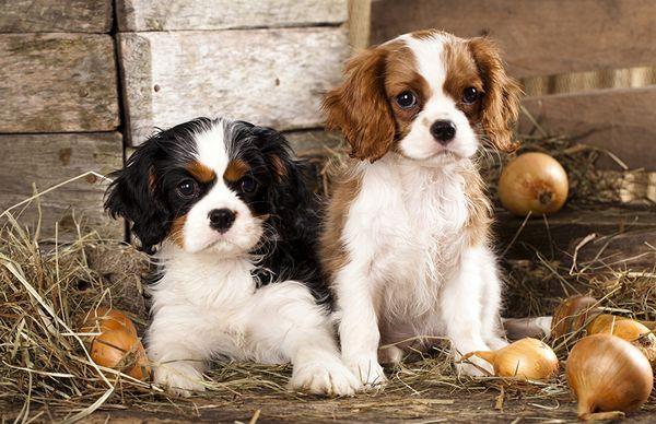 Лук относится к категории запрещенных для собак