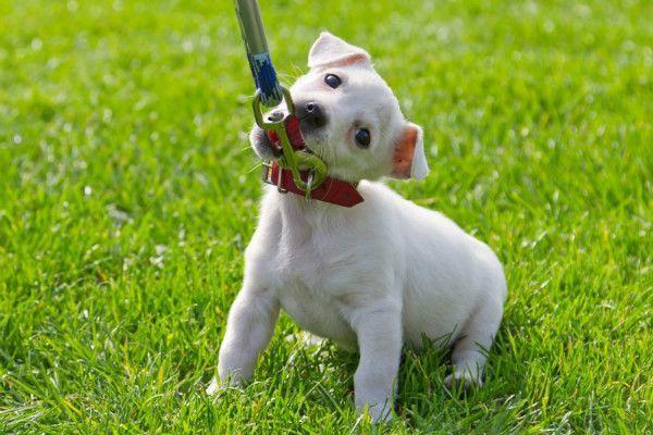 Для начала собаку нужно приучить к ошейнику