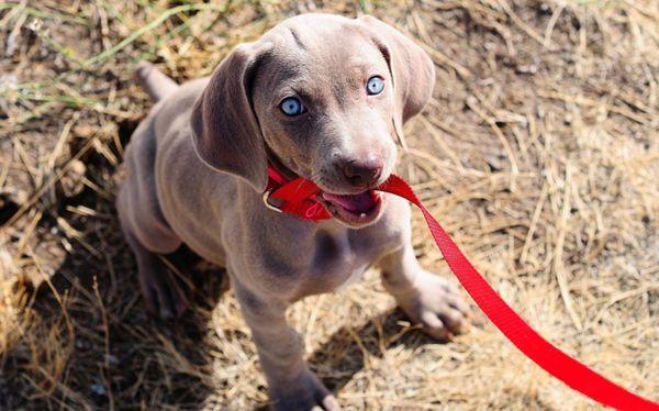 Приучение щенка гулять на поводке поможет животному в социализации