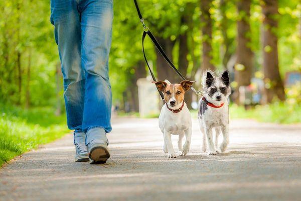 Взрослую собаку учат ходить на поводке при помощи строгого ошейника