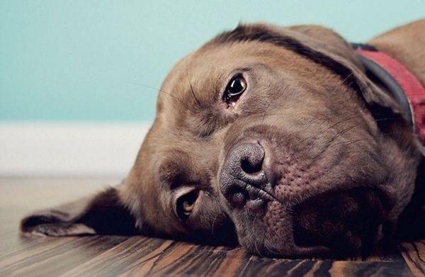 При рвоте кровью собаку нужно срочно показать ветеринару