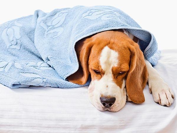 Рвота - это симптом какого-то недуга пса
