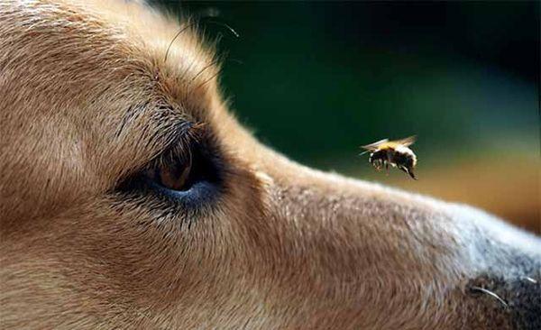 От укуса насекомого у пса может появиться припухлость