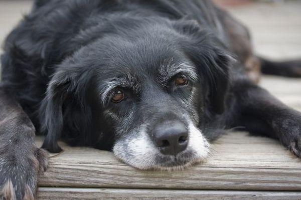 Перед смертью собака делается вялой