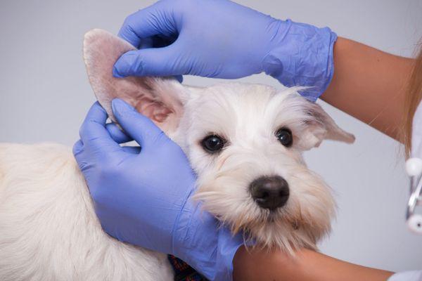 Ветеринар проведет осмотр ушей и поставит диагноз