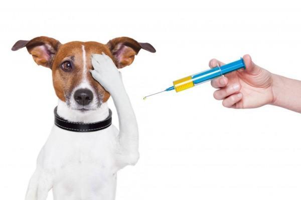 Запрещено делать прививку больной, ослабленной и истощенной собаке