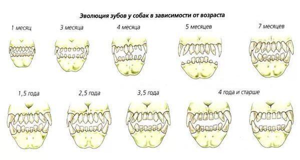 Время и процесс смены зубов собаки