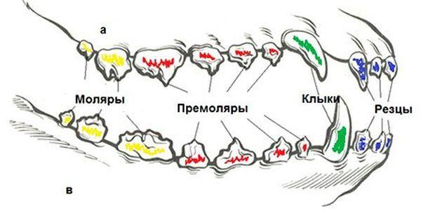 Зубная система взрослого пса