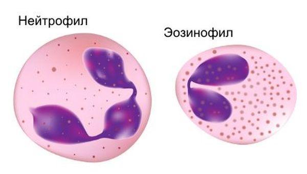 Нейтрофилы и эозинофилы – это белые тельца