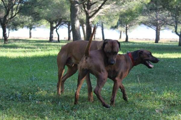 В среднем период половой зрелости у собак наступает к 9 месяцам