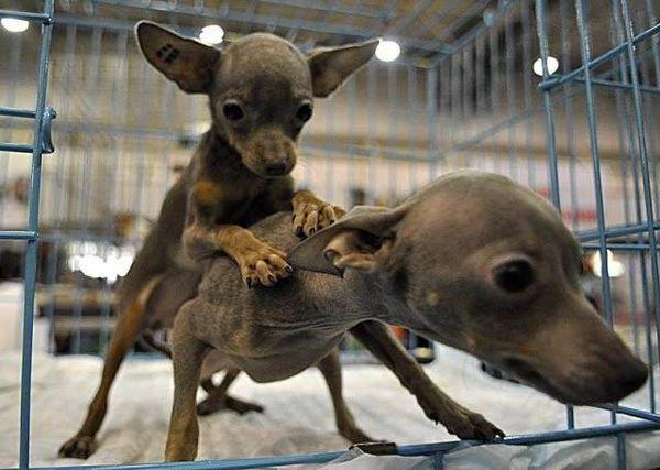 Вязка собак происходит после полной сдачи анализов животных