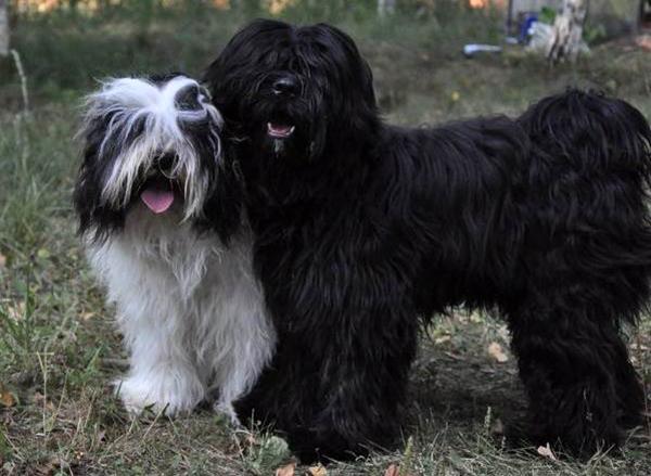 Гипоаллергенная собака тибетский терьер